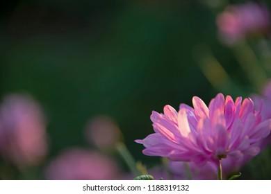 the natural background - chrysanthemums on dark-green