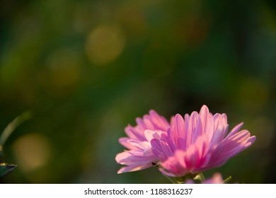 the natural background - chrysanthemums on green