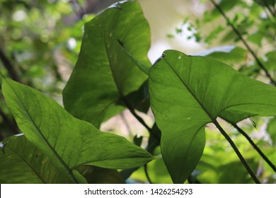 Natural background with colocasia Leaf