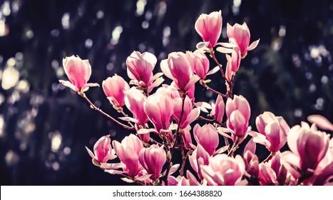Konzept des natürlichen Hintergrunds. Rosa Magnolienzweig. Magnolienbaum blüht. Blossom magnolia Zweig auf Naturhintergrund. Magnolia blüht im Frühling.