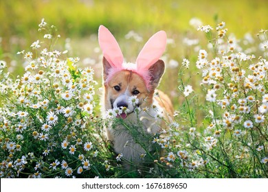 natural background with cute Corgi dog puppy sitting on a summer Sunny meadow surrounded by white daisies flowers in pink rabbit ears