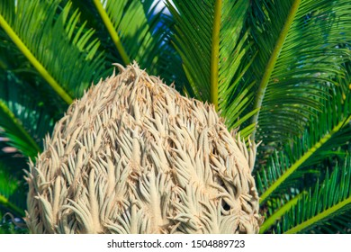 Natural background with cycas revoluta exitic tropical plant, strange shape flower close up view