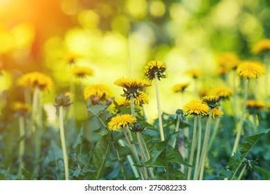Natural background, dandelions lawn