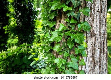 Natural background with evergreen curly ivy leaves along a tree trunk in a park close up with copy space for text.