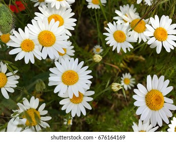 Natural background - field with daisies and poppies in green grass.