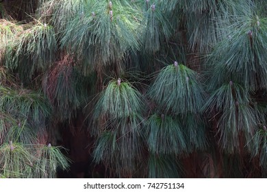 natural background of furry branches of Lebanese cedar