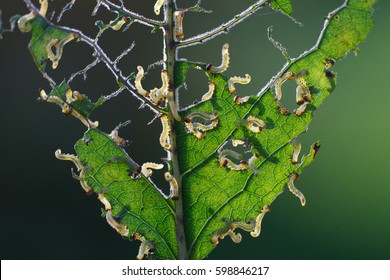 Natural background, gnawed leaf with a lot of caterpillars, macro.
