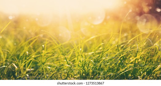 Natural background. Green fresh grass in the morning sun