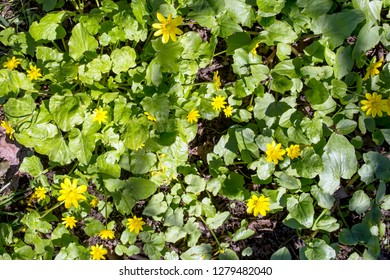 Natural background of green leaves and yellow flowers in spring. View from above.