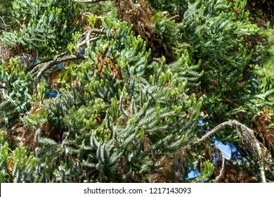 Natural background of green needles and branches Araucaria with cones.