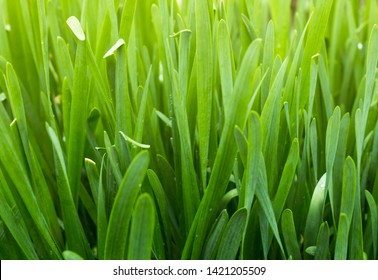 natural background of green onions Sisaket, agriculture