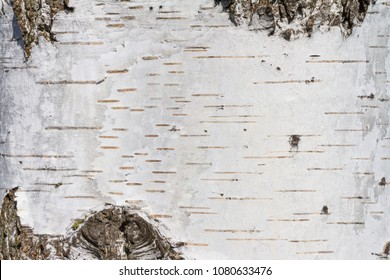 Natural background - the horizontal texture of a real birch bark close-up in springtime