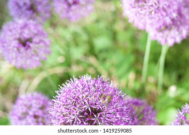 Natural background - inflorescences of ornamental onions on a strongly blurred green background. Selective focus.