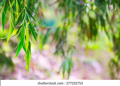 Natural background with   jarrah  leaves in spring