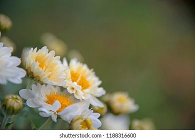 the natural background - Korean chrysanthemum