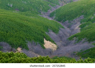Natural background. Mountain pine on the slopes. Abstract texture of trees