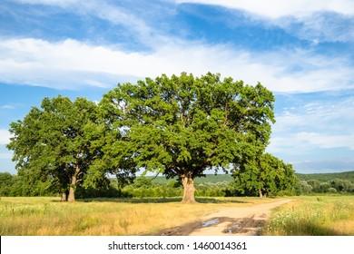 natural background - oak grove near dirty road on summer day in the Caucasus (in Kuban region of Krasnodar Krai of Russia)