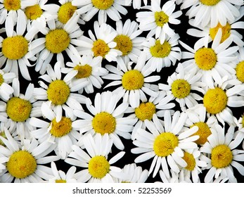 Natural background from ox-eye daisies