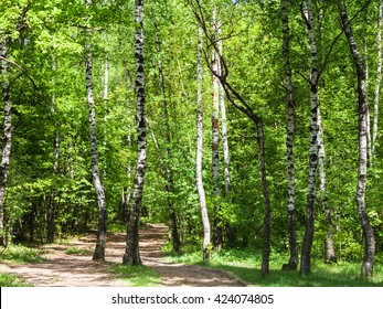 natural background - pathway in green birch forest in sunny day