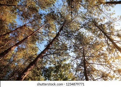 Natural background of Pine forests and sunlight