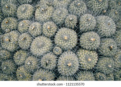 natural background of prickly catus