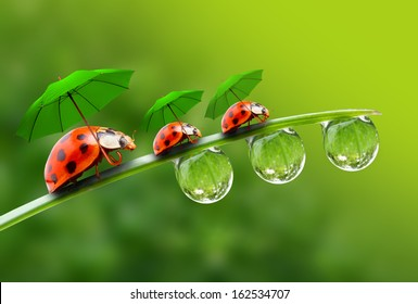 Natural background from rainy season. Three ladybugs with umbrella walking on the grass.
