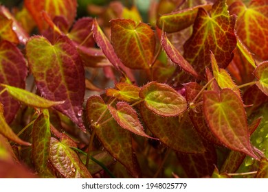 Natural background  of red green young foliage Epimedium. Perennial herbaceous plant.