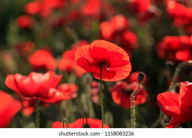 Natural background of red poppies blooming in a meadow