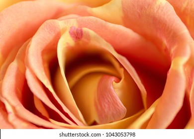 natural background of rose apricot color close-up variegated strokes Close up of orange roses soft style with dewdrops use for the soft background, valentine's or wedding card