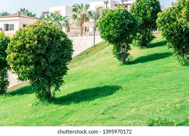Natural background, round green bushes grow on a green lawn. Horizontal frame