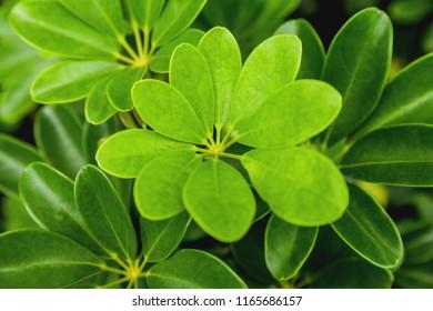 Natural background with Schefflera Arboricola. Green fresh leaves. Singapore.