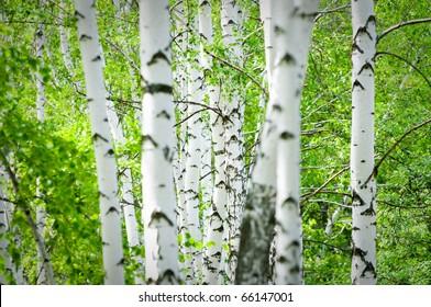 Natural background - a summer birchwood