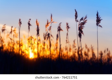 Natural background with sunset in the reeds silhouettes of the grass against the setting sun.