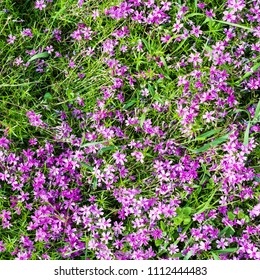 natural background - top view of pink flowers of phlox subulata on green meadow in summer day