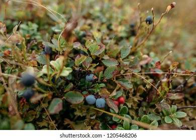 Natural background. Vaccinium uliginosum (bog bilberry, bog blueberry, northern bilberry or western blueberry)