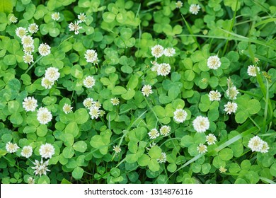 Natural background from a variety of white flowers and green leaves of clover