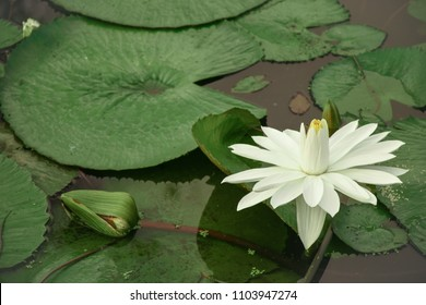 Natural background view. Close up to white lotus blooming on lake view.