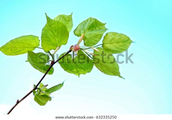 Natural background. Young green leaves. Spring landscape.