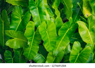 Natural background:Green leaves pattern background,cute heart shaped leaves of Heart leaf philodendron .leaf in a field with leaves.Using wallpaper or background for nature,  natural and refreshing