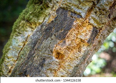 Natural bark of balsa wood in nature. Natural cork cultivation in nature. Macro. Fragment.