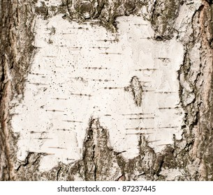 natural bark of birch background