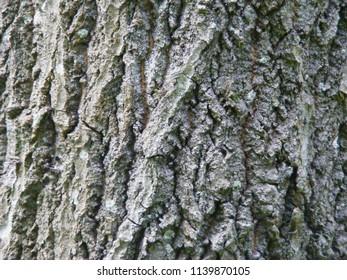 Natural bark of the tree asp