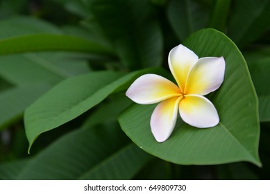 Natural beautiful green leaf in the background and pretty flower decoration on the surface