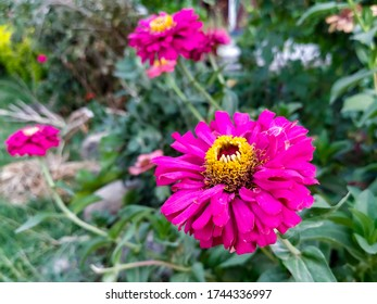 Natural beautiful Pink flowers in the garden