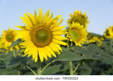Natural beautiful sunflowers in the field