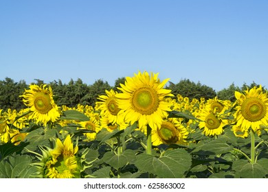 Natural beautiful sunflowers in the field on sunny spring day