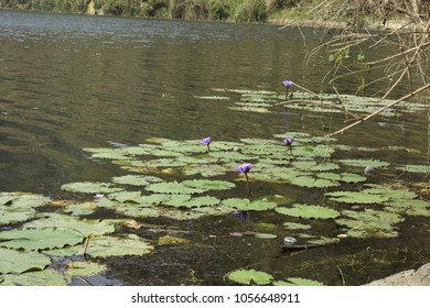 Natural beauty of Bangladesh - Water Lilly