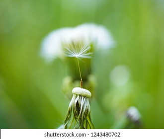 Natural beauty. Wild dandelion on summer day. Taraxacum flower on nature landscape. Dandelion flower seeds blowing away. Blowball. Summer nature. Flowering plant. Beauties of nature.