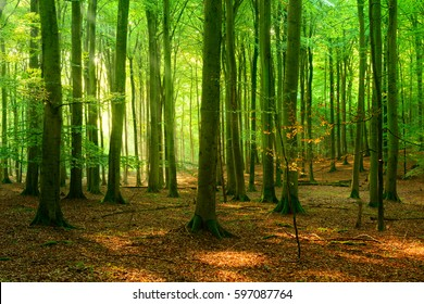 Natural Beech Tree Forest of illuminated by the Sun