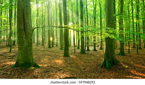 Natural Beech Tree Forest of illuminated by the Sunbeams through Fog